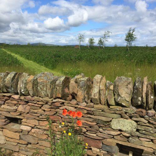 Poppies at wall