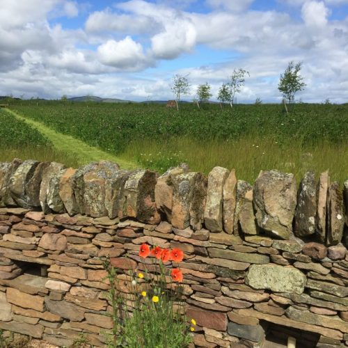 Poppies at wall